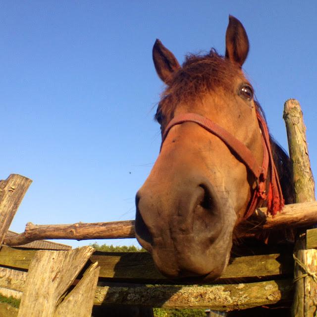 kampinos, koń