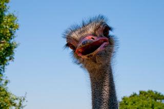 Imagem ilustrando um avestruz