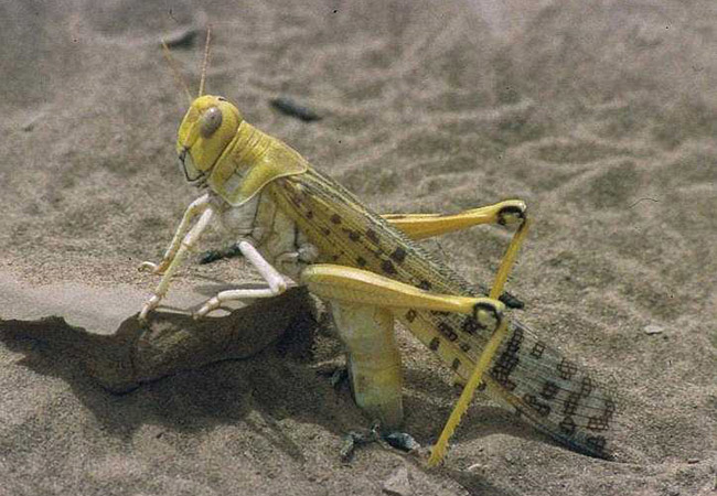 Tinuku Morphological intelligence in desert locust and dynamic robots