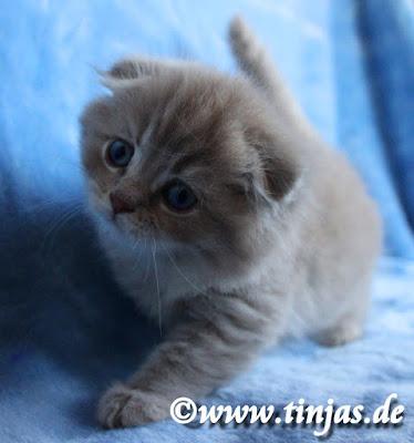 Highland Fold Kitten lilac golden tabby 2017 05 20 121