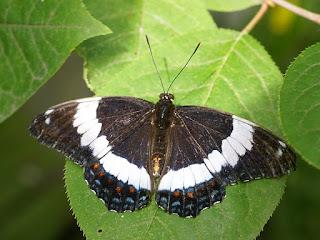 Limenitis arthemis - Amiral blanc