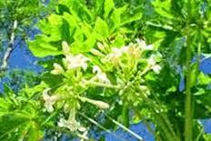 Obat demam berdarah dari daun pepaya gandul