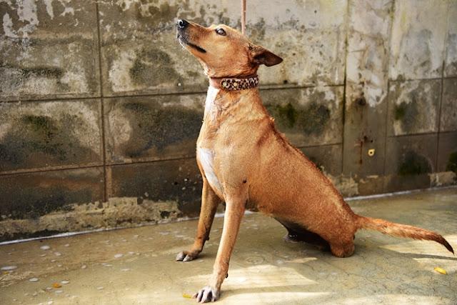 Những con chó bị cụt chân, mù mắt may mắn sống sót nhờ sự tận tâm và lòng yêu thương động vật của các bác sĩ tại bệnh viện đặc biệt này.