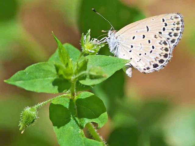 garden, butterfly, Pale Grass Blue