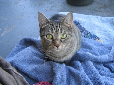 A grey tabby-cat, stitting on the blocked colourwork sock and towel. The cat is looking right at the camera.