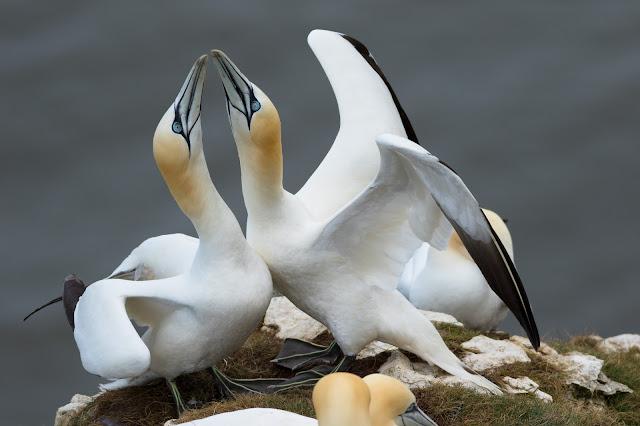 Gannets - Bempton Cliffs RSPB, Yorkshire