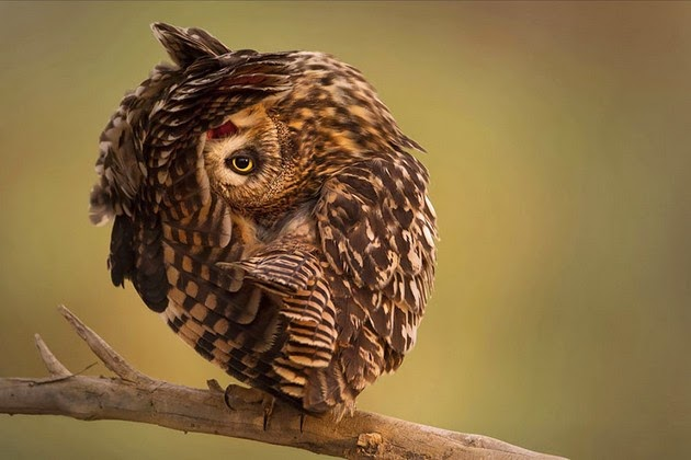 Breathtaking Beauty of Owls Ever Caught -2