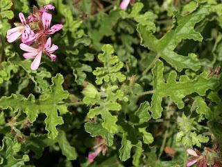 Pélargonium à feuille de chêne - Pelargonium quercifolium
