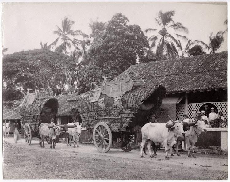 Double Bullock Carts - Ceylon (Sri Lanka) c1890's