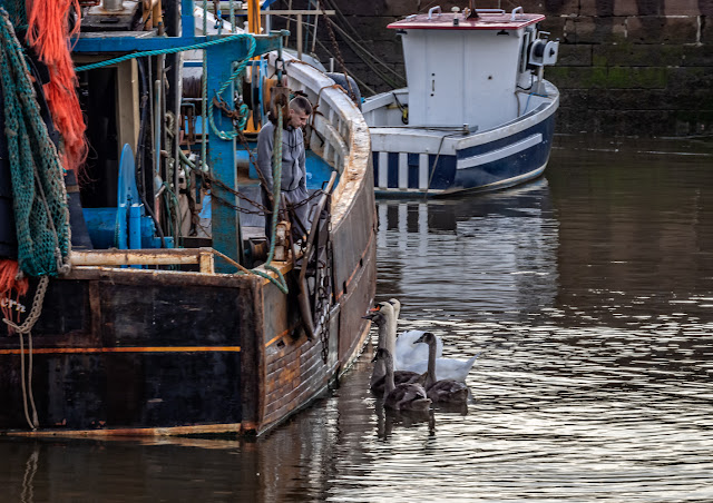 Photo of the swans and cygnets visiting a fishing boat in Maryport Harbour yesterday (Thursday) evening