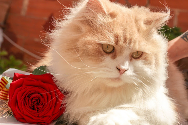 cute cat with rose image