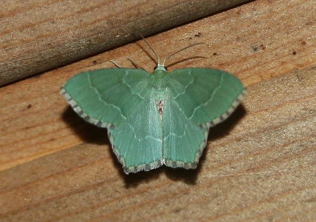 Gebüsch-Grünspanner, Hemithea aestivaria