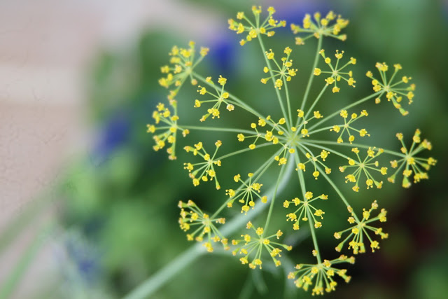 Dill flower for salads.