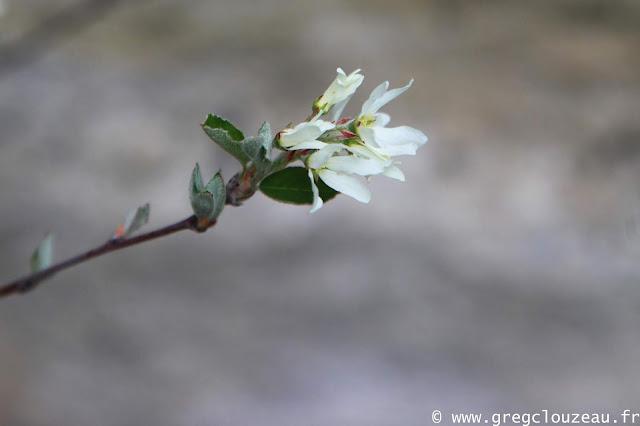 l'Amélanchier à feuilles ovales, (Amelanchier ovalis)