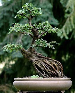 Bonsai gaya menonjolkan akar