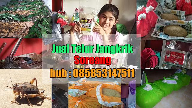 Jual Telur Jangkrik Soreang Hubungi 085853147511