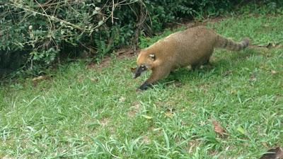 coatimundi searches for food.