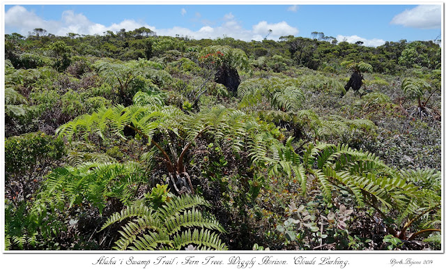 Alaka'i  Swamp Trail: Fern Trees. Wiggly Horizon. Clouds Lurking.