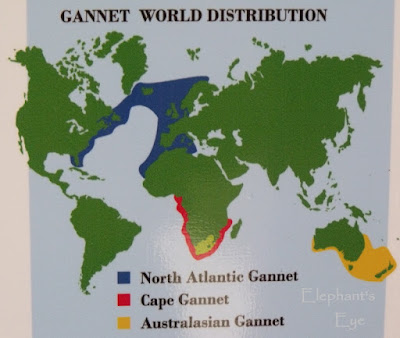 Gannet distribution