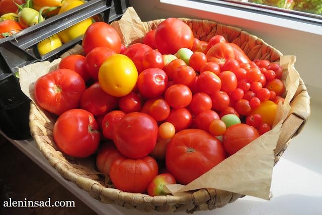 помидоры, томаты, свои, в теплице, без ухода, красные, желтые, зеленые, в корзинке, аленин сад, выращивание