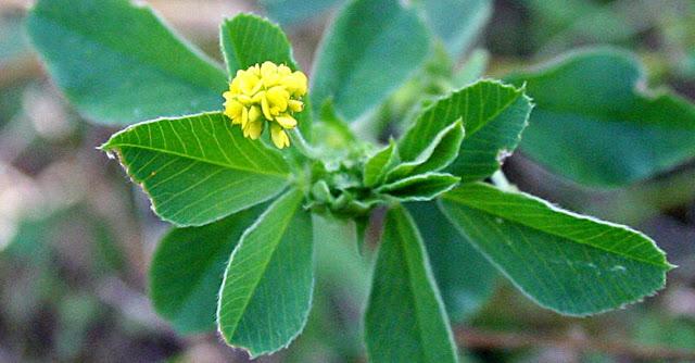 Mielga azafranada y plantas leguminosas