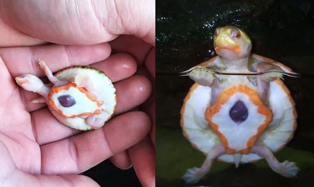 Una tortuga nace con el corazón fuera del pecho