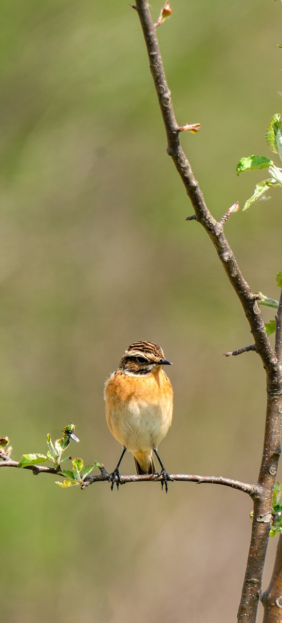 Picture of a whinchat bird.