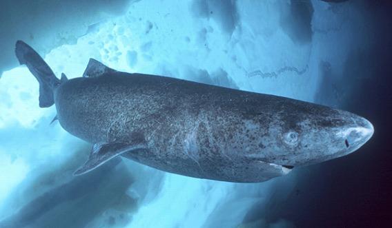 400年生きる?世界一長生きする生き物はのろまなサメ、ニシオンデンザメ【n】