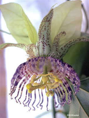 passion vine, Passiflora species