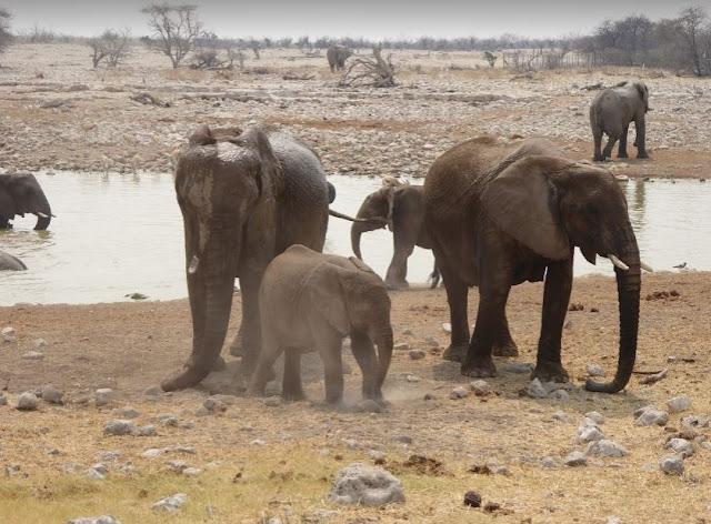 famiglia di elefanti che gioca a Okaukuejo