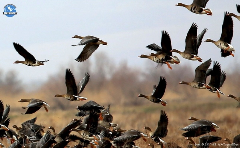 Φεβρουάριος: Καιρός για χήνες στο Δέλτα του Έβρου