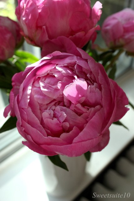 Close-up of a pink peony