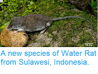 http://sciencythoughts.blogspot.co.uk/2014/07/a-new-species-of-water-rat-from.html