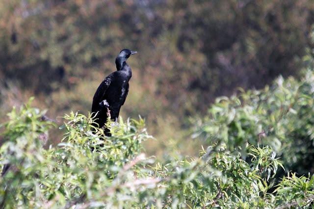 Cormorant at Ranganathittu