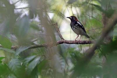 Tips Dan Cara Akurat Merawat Anis Kembang Muda Hutan Agar Cepat Gacor