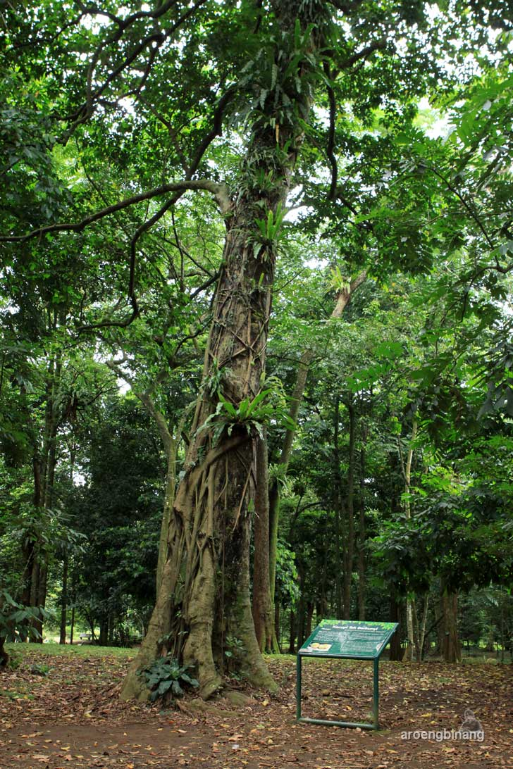 pohon kecapi kebun raya bogor