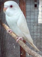Burung Parkit :LutinoWarna Putih