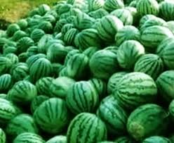 agar semangka berbuah besar, agar semangka cepet besar