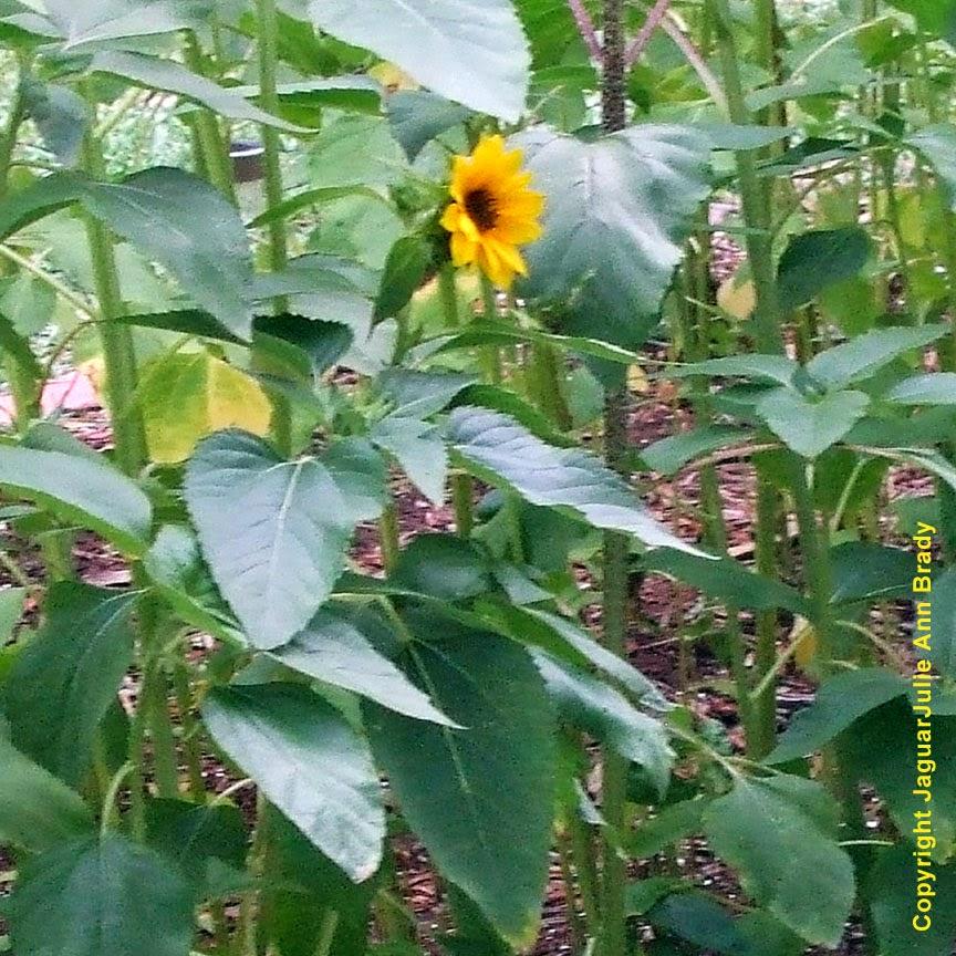 The First Sunflower Blossom of 2014 ~ JaguarJulie