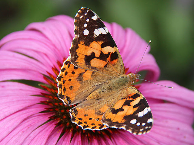 borboleta vanessa