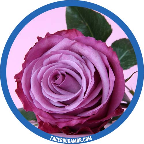 imágenes de rosa para perfil