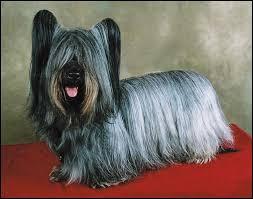 Ancestro Yorkshite Terrier