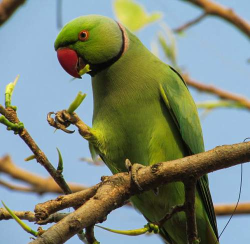 Birds of India - Rose-ringed parakeet - Psittacula krameri