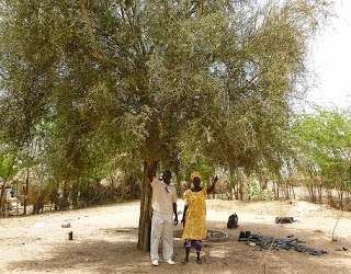 The desert date tree is considered valuable in dry and drought regions because it produces fruit even during droughts due to its long taproot photo by treesftf