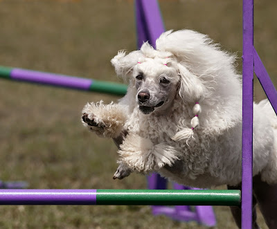 A poodle jumps in agility