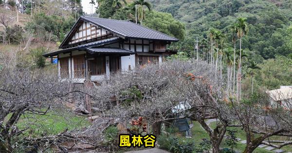 台中新社|2019風林谷|梅花|炮仗花|老樟樹|日式小木屋