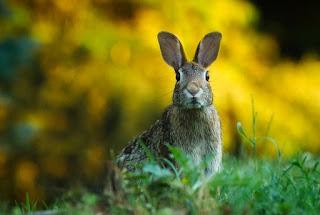 kelinci liar