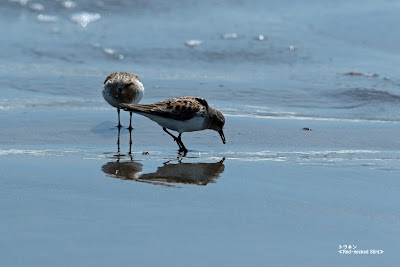 トウネン ≪Red-necked Stint≫
