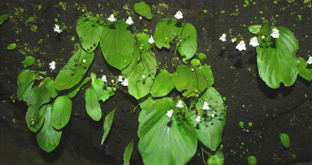 Gesneriaceae,Henckelia pradeepiana, new plant species, south Indian plant, Western Ghats, kerala, western ghat flora