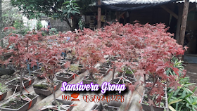 Jual bonsai red maple
